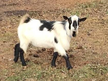 Binghamton Goat For Sale Craigslist Classifieds Backpage Ads,New