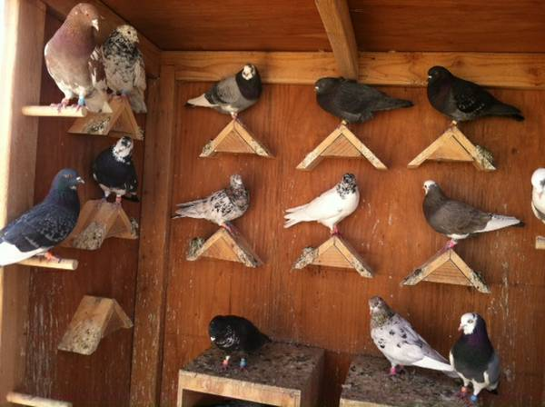 Long Island City Pigeons For Sale Craigslist Classifieds Backpage