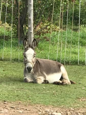 West Henrietta Donkeys For Sale Craigslist Classifieds Backpage Ads