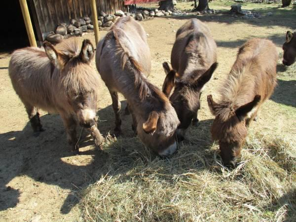 North Greece Donkeys For Sale Craigslist Classifieds
