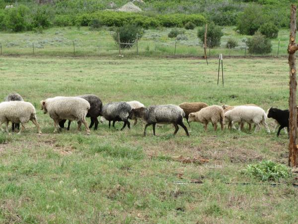 Oxford Sheep For Sale Craigslist Classifieds Backpage Ads