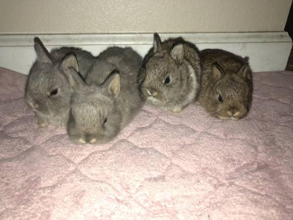 Rabbits Netherland Dwarf in Rabbits For Sale in Watertown